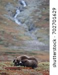 Small photo of Musk ox hed in a autumn landscape, dovrefjell, norway, (ovibos moschatus)