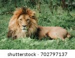 lion male sleeping in the green ... | Shutterstock . vector #702797137