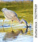 Small photo of White Faced Heron