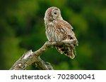 Owl In Nature. Ural Owl  Strix...