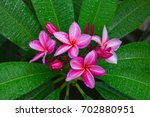 fresh azalea flower with green... | Shutterstock . vector #702880951