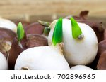 germination of a tulip bulbs ... | Shutterstock . vector #702896965