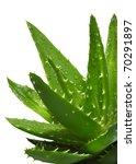Aloe Vera With Water Drops...