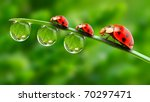 Stock photo ladybugs family on a dewy grass close up with shallow dof 70297471