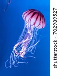 Pacific Sea Nettle Chrysaora...
