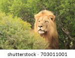 Small photo of Alert Lion