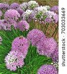 Beautiful Spherical Allium...