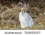 Snowshoe Hare Lepus Americanus...