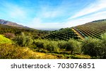 olive groves and vineyards... | Shutterstock . vector #703076851
