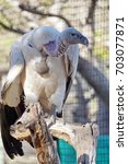 Small photo of White-backed vulture (Gyps africanus) at an animal rescue center near Kruger National Park, South Africa