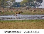 lechwe  kobus leche   or... | Shutterstock . vector #703167211