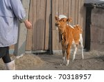 Brown Calf By Wooden Gate...