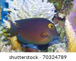 Small photo of Kole Tang Spotted surgeonfish Ctenochaetus strigosus Acanthuridae.