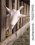 White Goat In The Farm  Happy...
