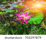 pink lotus pond and sun shining. | Shutterstock . vector #703297879