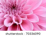 Macro Image Of A Dahlia Flower