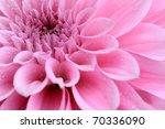 Macro Image Of A Dahlia Flower