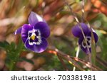 Purple Pansey Flowers In The...
