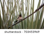 Small photo of African Red-eyed Bulbul on a branch in Botswana, Africa