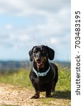Small photo of Black and tan smooth-haired miniature dachshund standing in a field looking at camera with mouth open