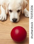 Stock photo labrador retriever puppy lying on the floor and playing with a red ball 70355206