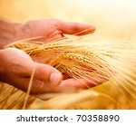 Wheat Ears In The Hands.harves...