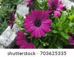 flower purple red gerbera... | Shutterstock . vector #703625335