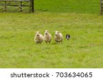 Small photo of Welsh border collie sheepdog rounding up sheep at a sheep dog trial on a farm
