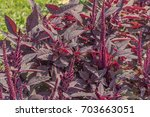 Bloodleaf Plant  Iresine...