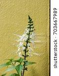Small photo of Java tea, kidney tea, cat' s whiskers: Orthosiphon aristatus,tree and flower.