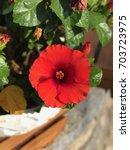 red hibiscus flower | Shutterstock . vector #703723975