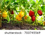 growing sweet peppers in a... | Shutterstock . vector #703745569