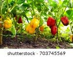 growing sweet peppers in a... | Shutterstock . vector #703745569