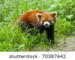 curious red panda | Shutterstock . vector #70387642