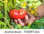 tomatoes harvest. farmers hand... | Shutterstock . vector #703897261