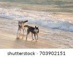 husky dogs bathe in the sea ... | Shutterstock . vector #703902151