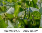 close up of the coy bean plant