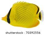 Latticed Butterfly Fish...