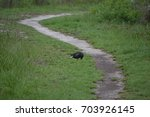 Small photo of American black vulture