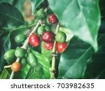 coffee plant | Shutterstock . vector #703982635