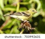 closeup of a female gold finch  ... | Shutterstock . vector #703992631
