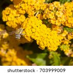 Small photo of Blue banded Australian native bee, Amegilla cingulata, gathering pollen from Lantana's bright yellow aromatic flower clusters (called umbels) on a large shrubby bush blooming in autumn.