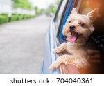 Stock photo a happy yorkshire terrier dog is hanging is tongue out of his mouth and ears blowing in the wind 704040361