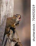 Small photo of American Red Squirrel Tamiasciurus hudsonicus making alarm call at Watson Lake, Yukon, Canada