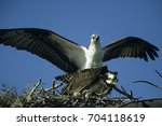 Small photo of Osprey (Pandion haliaetus) at the aerie, Everglades National Park, Florida, USA, North