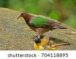 common emerald dove  | Shutterstock . vector #704118895
