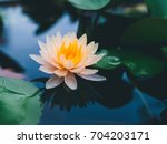 beautiful lotus flower in pond... | Shutterstock . vector #704203171
