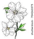 white peony flower blossom....   Shutterstock . vector #704263375