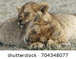 Pair Of Lion Cubs Sleeping Nex...