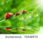 Ladybugs Family On A Dewy Gras...